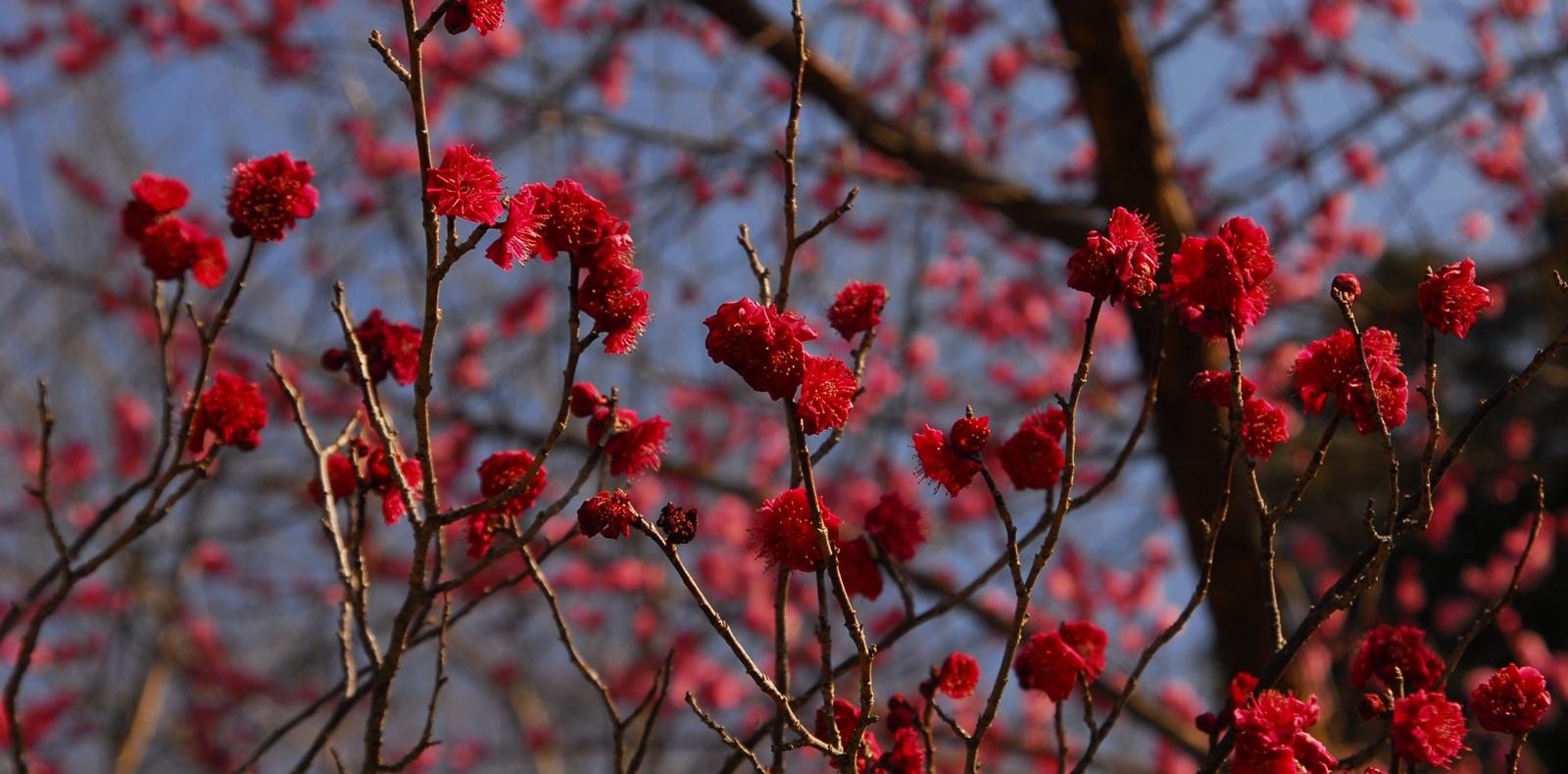 美郷の梅の花
